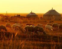 Voyage Mongolie - Moutons et yourtes