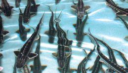 Visite autour de Moscou - Ferme piscicole d'esturgeons et dégustation de caviar noir