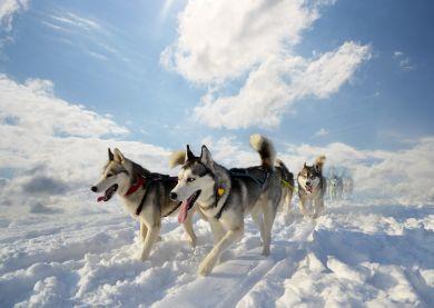 Voyage Russie - Husky
