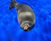 Nerpa, phoque de Sibérie