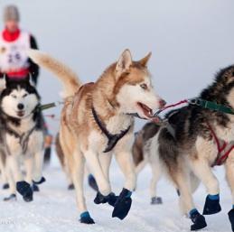 Voyage Kostroma - Raid en chiens de traîneau